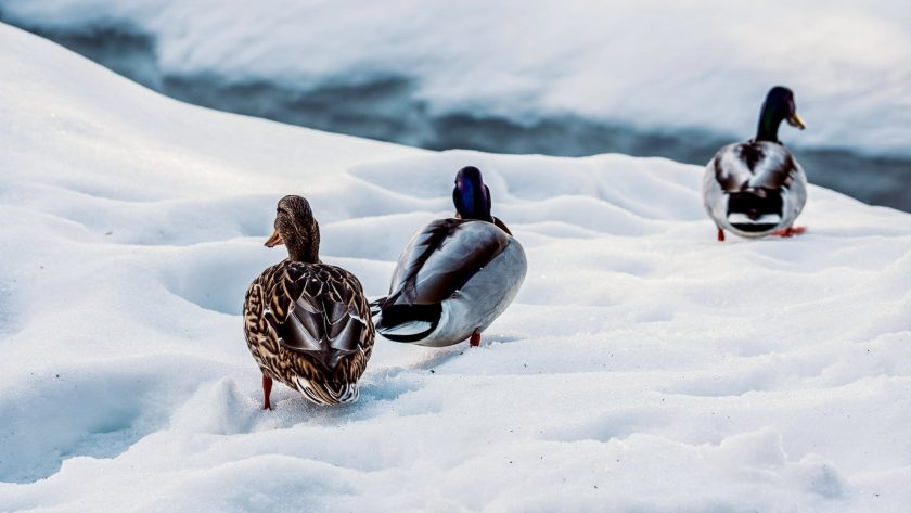 drakes and duck walking on snowy river shore